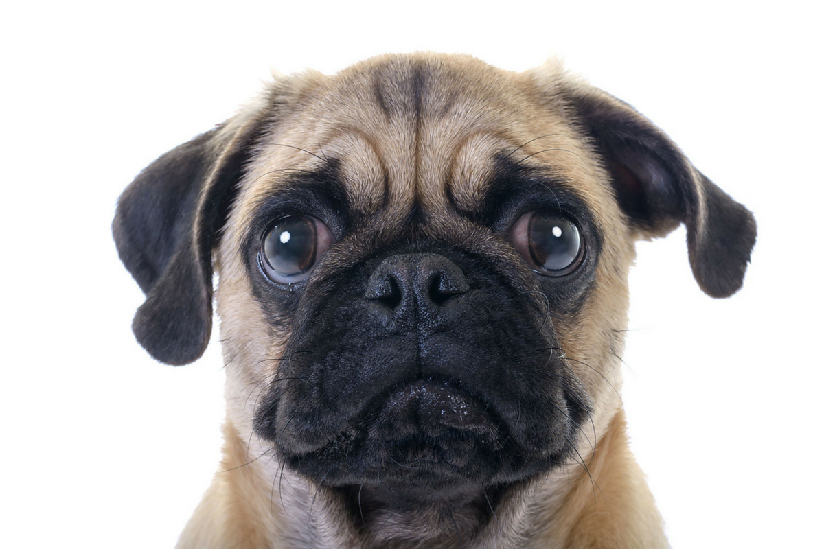 Sad pug puppy: too much animal violence in office jargon